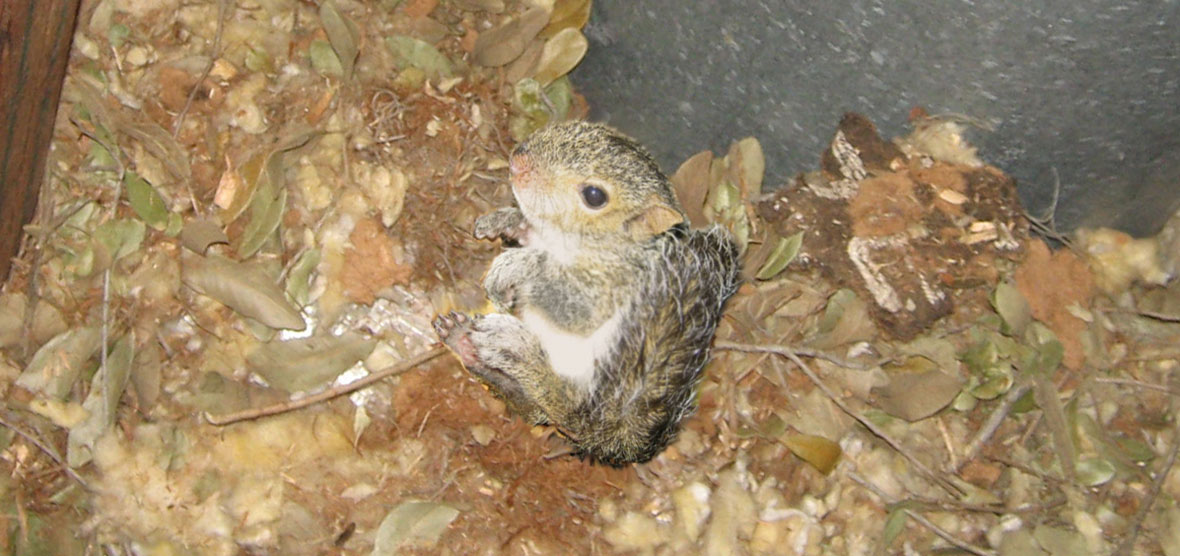 How Do You Know If You Have A Squirrel In Your Attic
